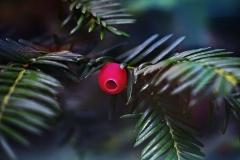 yew-green-conifer-plant